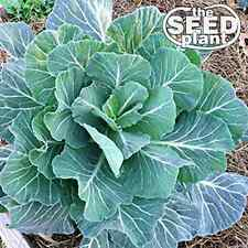 Georgia Southern Collard Green Seeds - 250 SEEDS NON-GMO