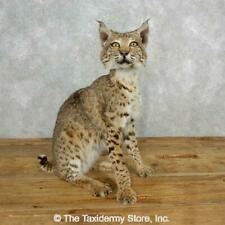 #18204 E+ Bobcat Life-Size Taxidermy Mount For Sale