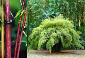 Fargesia fungosa (Borinda fungosa) 10 Bamboo Seeds •RARE Outdoor Garden Plant UK