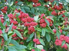 Cotoneaster frigidus (20 Seeds/graines)