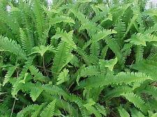 Beautiful 8 Live Boston Fern Healthy Florida Grown Plants