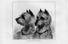 Stampa antica CANI TERRIER IRLANDESI Irish Terrier 1879 Old print dog