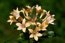 20 graines de COLLOMIE A GRANDES FLEURS (Collomia Grandiflora) X307 SEEDS SAMEN