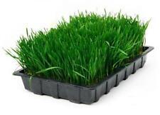 1 KG ORGANIC Wheatgrass Semi 100% British Farm eccellente germinazione