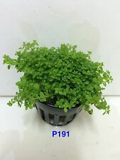 Exotic Live Aquatic Fresh Water Hemianthus callitrichoides Potted Plant P191