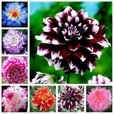 20Pcs Mix Dahlia flower seeds Great Bonsai Plant Perennial Stunning new blo A9R0