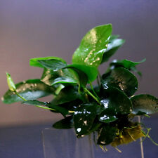 48~64 leaves Anubias nana - Live aquarium water plants low light co2 moss java