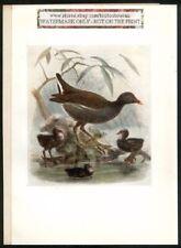 Moor Hen  Bonhote Bird Print 1907 Bonhote