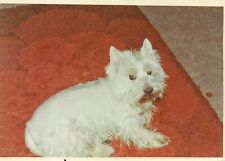 3 Vintage Old 1960's Color Photos of a Cute White Norwich Terrier Dog on Walk