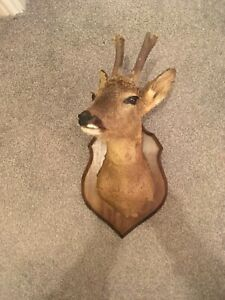 Very Good Taxidermy Deer head mounted on a plaque