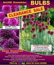 Allium   Drumsticks:  Medium Size-  BULBLETS   25/ 50/ BULBS