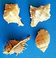 Sea Shells : 3 Species Murex +1 Cassidae Mediterranean Seashells Natural Lot