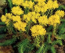 5 x SEDUM Blue Spruce Reflexum - Great Ground Cover Perennial Plant - Easy