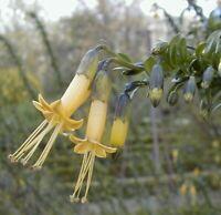 Vestia lycioides or Vestia foetida Chilean Boxthorn RARE 10 seeds