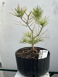 Mikawa Japanese Black Pine For Bonsai or Landscape Planting