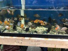Live gold  fish Ranchu   2.5-3 Inch for fish tank, koi pond or aquarium