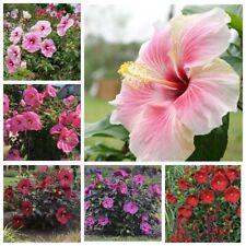 50 Pcs Hibiscus Moscheutos Flower Seeds Grand Extraordinary Perennial Plants