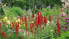 CARDINAL FLOWER - Red - 1 Live PLANT - GroCo Plants USA