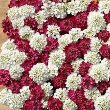 50+ IBERIS EVERGREEN RED AND WHITE CANDYTUFT MIX / DEER RESISTANT GROUND COVER