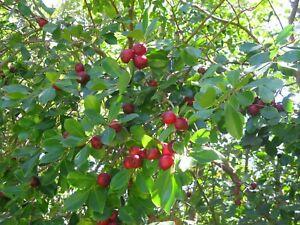 Cherry Guava Fresh Seeds 12+ Fruit Tree Plant with Vast Medicinal Purpose Jams