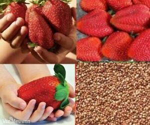 GIANT STRAWBERRY SUPER SWEET VARIETY GARDEN FRUIT - GIFT OPTION