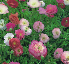 Poppy Shirley Double Mix 5 Colours Annual Seeds,  Cut Flower Large Blooms