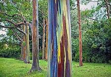 200 Eucalyptus deglupta Seeds. rainbow eucalyptus, Mindanao gum, rainbow gum