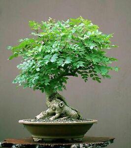 Tree of Life Bonsai Seeds | 20+ Seeds | Grow a Moringa Tree Bonsai, Edible