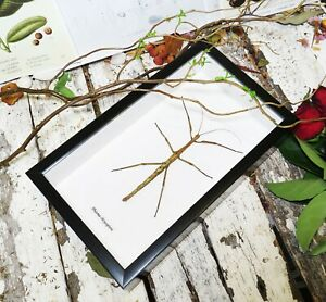 Phasmid species insect framed  Australian warehouse BEPC