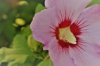 400/2400 Graines Guimauve Sauvage Mauve Blanche Althaea Officinalis Fleur Vivace