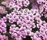 YARROW ROSE CERISE QUEEN Achillea Millefolium - 1,000 Bulk Seeds
