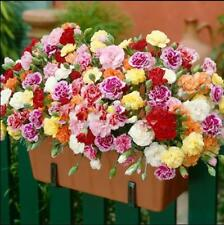 200pcs Carnation (Dianthus Caryophyllus) Grenadin flower mixed colors seeds