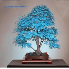 20X Blue Japanese Maple Acer Palmatum Atropurpureum Plant Tree Seeds Bonsai NEW