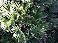 "Chamaerops humilis ""Vulcano"" Rare Cold Hardy Palm! - 10 seeds"
