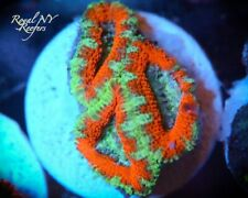 New listing Yellow Line Acan Frag Live Coral Wysiwyg Lps