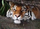Foto Mural decorativo Tigre en la selva Para Pared 254x183cm Wild Nature