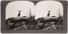 Keystone Stereoview of a Wild Elk in Montana from 1910's Visual Education Set #A