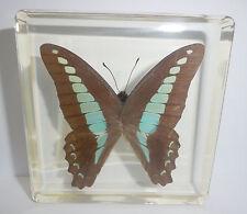 Common Bluebottle Graphium sarpedon Butterfly Clear Block Education Specimen