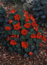 Nasturtium Tropaoleum Empress Of India Annual Seeds