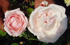 Rose New Dawn, Kletterrose, Farbe zartrosa bis weißlich