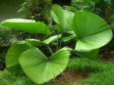 *UNCLE CHAN* 10 seeds Licuala peltata RARE Fan palm large undivided leaf 2018