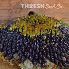 Sunflower - Black Mammoth - 50 seeds + Free Gift