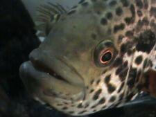 Pair of Live Exotic Aztec Jaguar Cichlid Fish Freshwater Tropical Aquarium