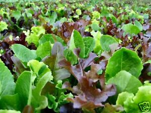 MESCLUN MIX 500+ seeds SALAD MIX vegetable seeds garden greens EASY TO GROW