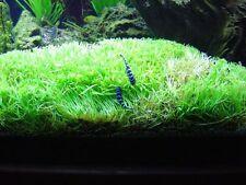 Micro Sword plant/ Lilaeopsisi Brasiliensis Aquarium Plant