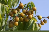 25 Seeds Sapindus mukorossi , Soapnut, Soap Nut, Soapberry, Soap Berry, Washnut