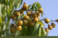 25  Sapindus mukorossi  Seed , Soapnut, Soap Nut, Soapberry, Soap Berry, Washnut