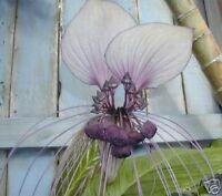 FLEDERMAUSBLUME hat wunderschöne Blüten; Zimmerpflanze