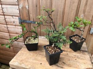 Bonsai Starter collection 4 Trees ! Ash, Alder, Quince, Birch