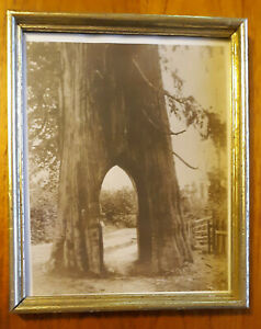 The First Famous Bicycle Tree Fell In 1927 Snohomish, WA w/picture frame vintage